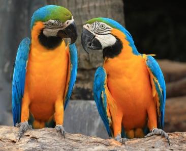 Parrots 1920